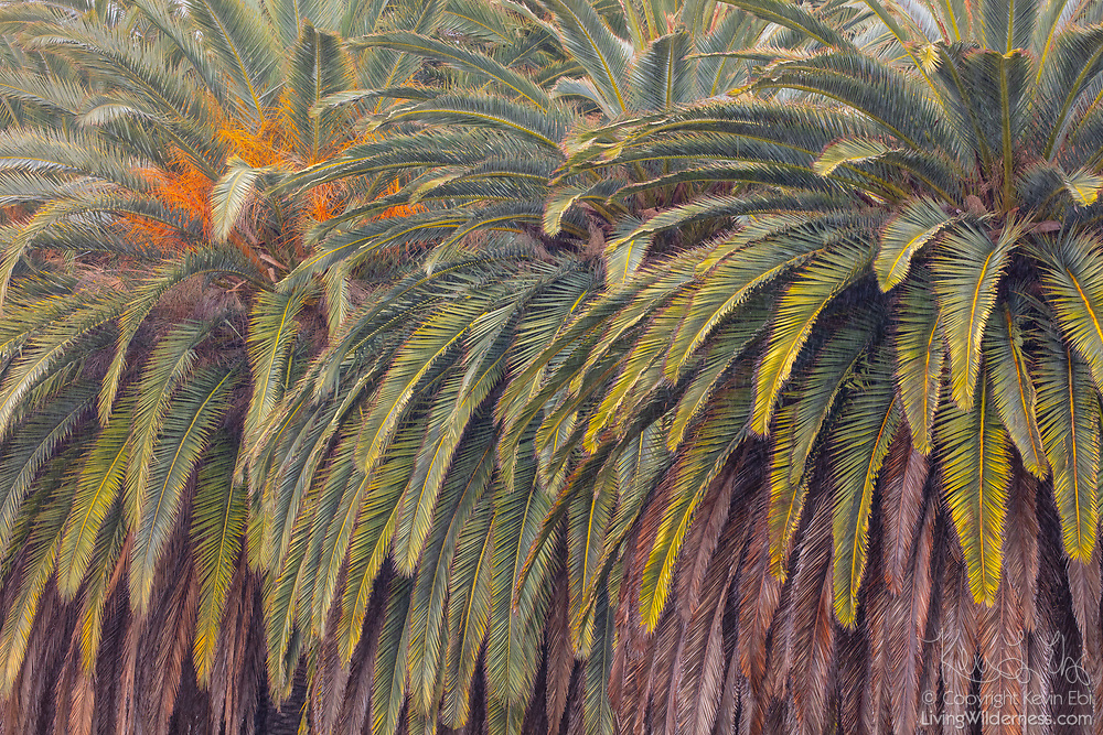The range of green and brown colors in palm fronds are visible in this tight cluster of trees near the Malibu Lagoon in Malibu, California.
