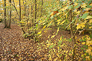 Field Maple, Acer campestre, Ranscombe Farm Nature Reserve, Kent UK, yellow, green