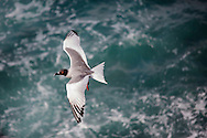 Swallow-tailed Gull in flight, Galapagos