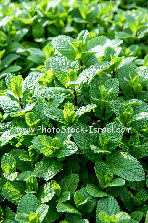 A field of Cultivated Mentha (or Mint)