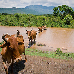 Cows roam free in the lush green area just north of Konso