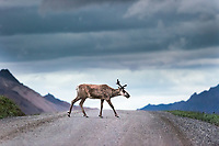 A caribou walks across  the Denali National Park road in Alaska at 1:08 a.m. on the day of the summer solstice on June 21, 2017. Caribou can run about 50 miles per hour.