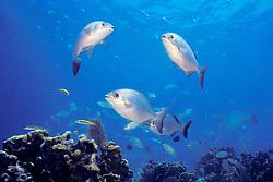 schooling Bermuda or yellow sea chub, Kyphosus sectatrix = sectator or incisor, Minnor Caves, Key Largo, Florida Keys National Marine Sanctuary, Atlantic Ocean.