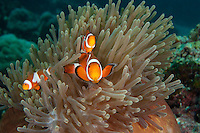 Clown Anemonefish Family at home..Shot In Indonesia