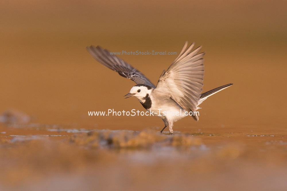 White wagtail (Motacilla alba) standing in a water pool. White wagtails are insectivorous, preferring to live in open country where it is easy to spot and pursue their prey. Photographed in Ein Afek, Israel In October