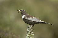 Ring Ouzel - Turdus torquatus. L 25-26cm. Upland counterpart of Blackbird. Typically alert and wary. Sexes are dissimilar. Adult male has mainly black plumage with striking white crescent on breast and pale fringes to wing feathers. Legs are dark, bill is yellowish, and feathers on underparts have pale fringes. Adult female is similar but dark elements of plumage are browner and pale crescent on breast is grubby white. 1st winter birds look rather dark with pale feather fringes all over and hint of adult's pale crescent on breast. Voice Utters a harsh tchuck alarm call. Song comprises short bursts of fluty phrases. Status Local summer visitor to rugged moorland and lower mountain slopes.