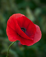 Red Poppy. Image taken with a Leica TL-2 camera and 55-135 mm lens