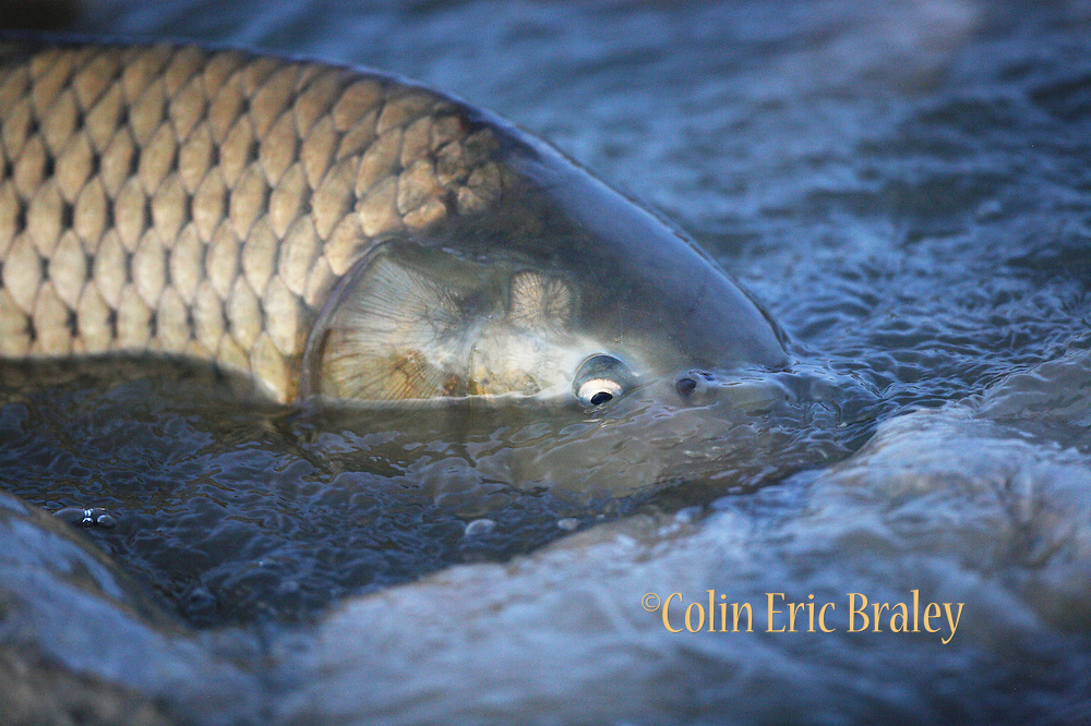 A Common Carp swims the shallows in an attempt to run upstream on the Bear River in northern Utah, April 27, 2008.