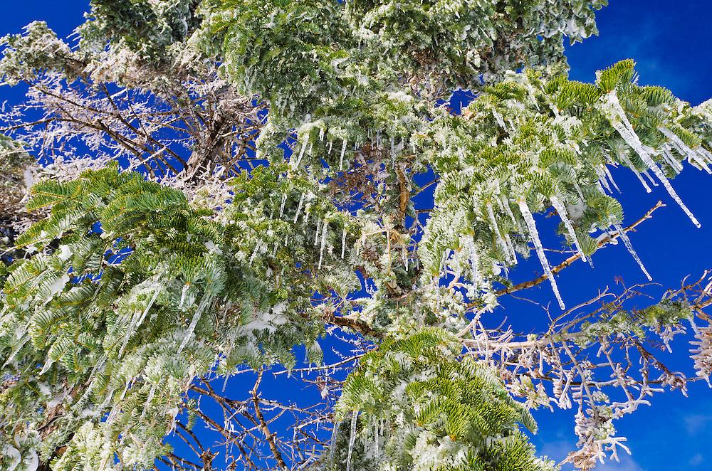 Icicles hanging from pine tree, San Bernardino National Forest, California USA