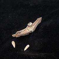 Nederland, Leiden, 31 oktober 2016.<br /> Onderzoek naar vondst Merovingisch grafveld in Echt.<br /> Een deel van de vondst wordt onderzocht in het lab in Leiden.<br /> Op de foto: Stukje kaak met wortel tand.<br /> <br /> Foto: Jean-Pierre Jans