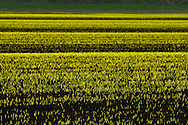Florida, New York - The late afternoon sun shines on onion fields in the Black Dirt region of Orange County on  April 27, 2014.