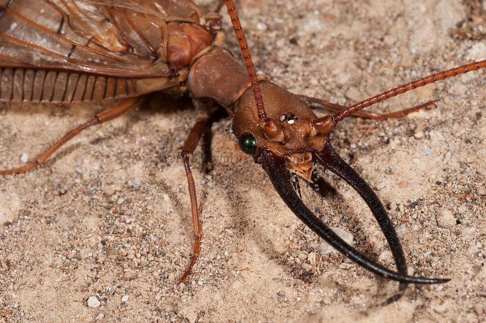 Dobsonfly or King Bug (Corydalus sp)<br /> Mindo<br /> Cloud Forest<br /> West slope of Andes<br /> ECUADOR.  South America<br /> HABITAT & RANGE: