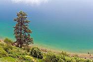 A Ponderosa Pine (Pinus ponderosa) on the shore of Kalamalka Lake near Vernon, British Columbia.