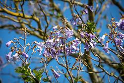 Paulownia tomentosa AGM  - Foxglove tree