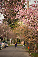 A young boy plays basketball along this secluded street in the Montlake neighborhood, adorned with budding Madrona trees in the first weekend of Spring. (March 21, 2020)