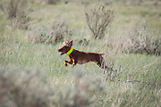SHOT 5/9/20 8:47:59 AM - Various pointing breeds compete in the Vizsla Club of Colorado Licensed Hunt Test Premium at the Rocky Mountain Sporting Dog Club Grounds in Keenesburg, Co. (Photo by Marc Piscotty / © 2020)