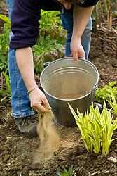 Adding powdered fertiliser to a border at the start of the growing season. Metal bucket