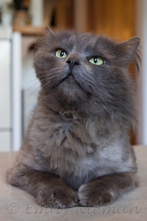 Adoptable cat with the Seattle Animal Shelter