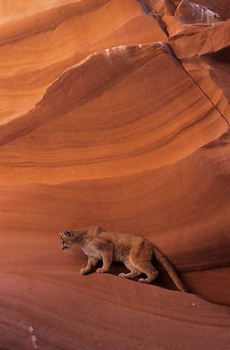 Mountain Lion or Cougar, (Felis concolor) In Slot Canyons of northern Arizona.  Captive Animal.