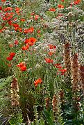 Poppy, Papaver rhoeas, Poppy's in flower amongst herbaceous plants. London UK.