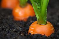 Ground-level view of carrots growing in a Kodiak, Alaska garden.