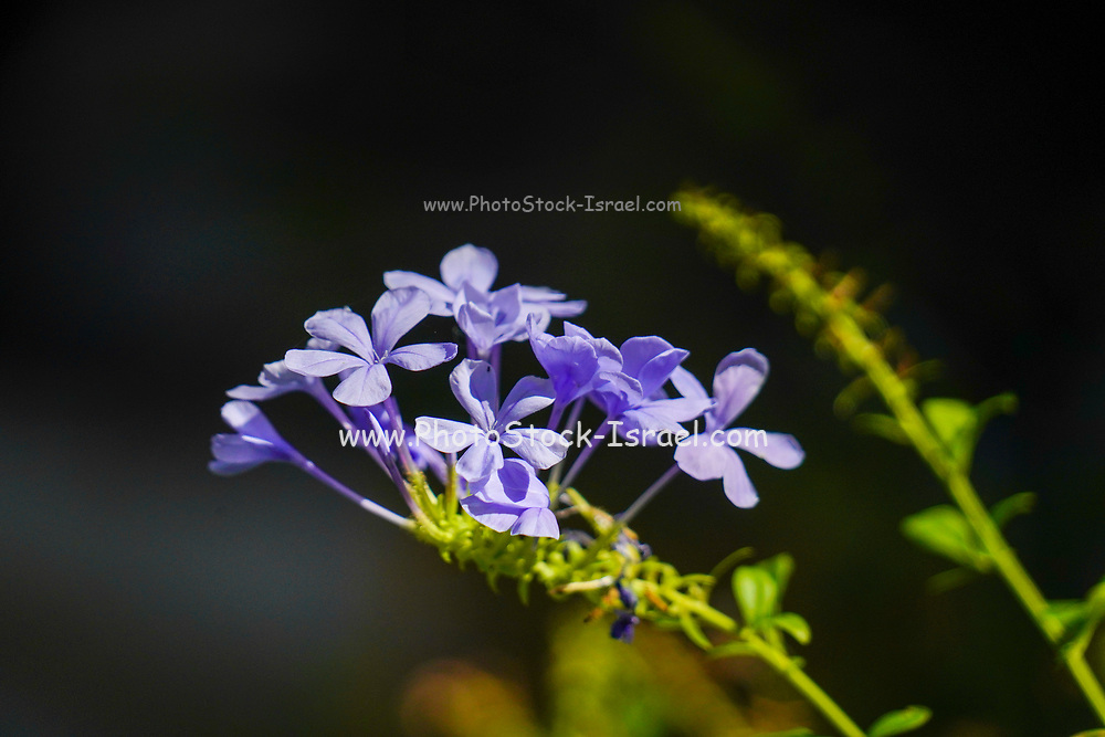Close up of a flowering Phlox divaricata, the wild blue phlox, woodland phlox, or wild sweet william, is a species of flowering plant in the family Polemoniaceae, native to forests and fields in eastern North America.