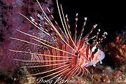 spotfin lionfish, Pterois antennata, Similan Islands, Thailand ( Indian Ocean )