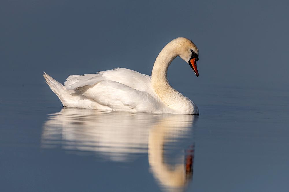Mute swan (Cygnus olor) from Vejlerne, northern Denmark.