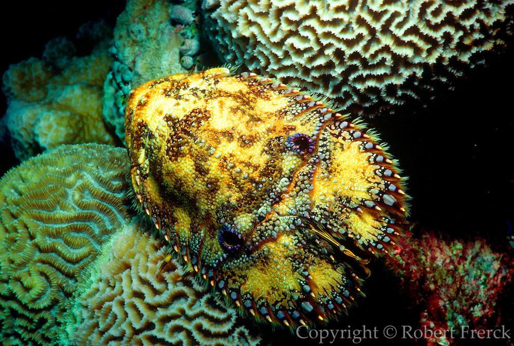 UNDERWATER MARINE LIFE WEST PACIFIC: Southwest LOBSTER: Slipper lobster Scyllaridae species