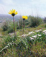 Low angle closeup of two dandelions in a grassy field<br />