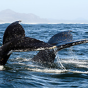 Two adjacent flukes of a pair of humpback whales (Megaptera novaeangliae) diving in synchrony. Both flukes, but particularly the one in the rear, are covered with Coronula diadema barnacles, which are found exclusively on humpback whales.
