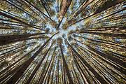 Austrian pine trees grow straight, reach for light, Hanmer Springs, Canterbury, New Zealand