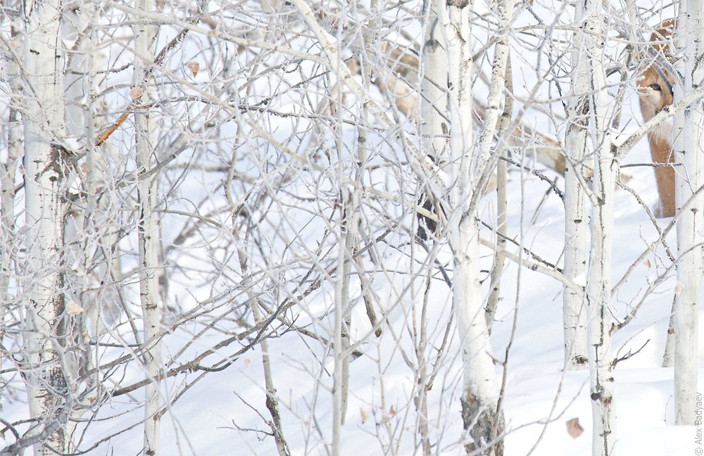 WINTER ASPEN ENCOUNTER | Five years of previsualizing, three winters of search, two weeks of tracking, five frostbitten fingers, one snapped lens in skiing freefall, three hours of motionless and breathless anticipation.