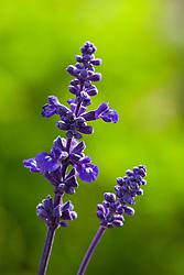 Salvia farinacea 'Victoria' (Mealy cup sage)