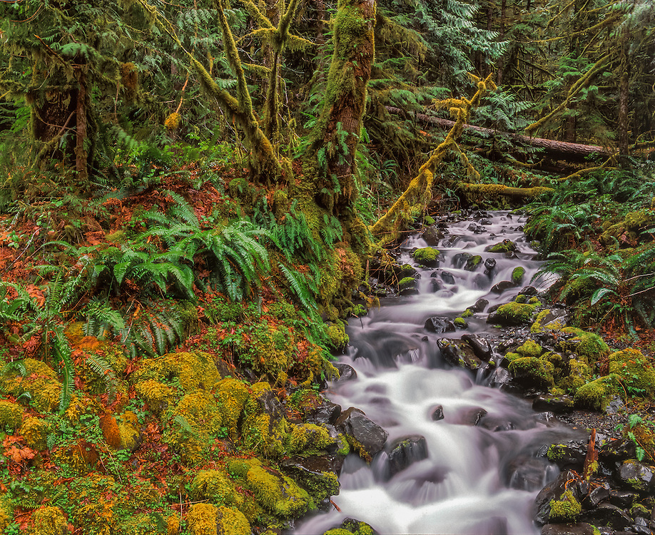 Smith Creek runs over moss covered rocks, trees & ferns, Olympic National Park, WA