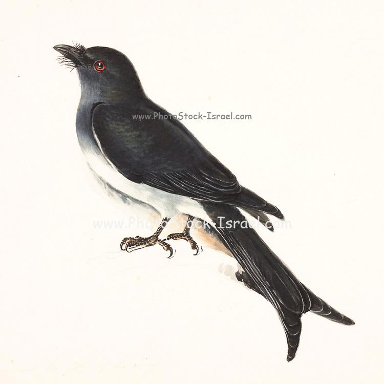The white-bellied drongo (Dicrurus caerulescens) is a species of drongo found across the Indian Subcontinent. Like other members of the family Dicruridae, they are insectivorous and mainly black in colour, but with a white belly and vent. Young birds are, however, all black. 18th century watercolor painting by Elizabeth Gwillim. Lady Elizabeth Symonds Gwillim (21 April 1763 – 21 December 1807) was an artist married to Sir Henry Gwillim, Puisne Judge at the Madras high court until 1808. Lady Gwillim painted a series of about 200 watercolours of Indian birds. Produced about 20 years before John James Audubon, her work has been acclaimed for its accuracy and natural postures as they were drawn from observations of the birds in life. She also painted fishes and flowers. McGill University Library and Archives