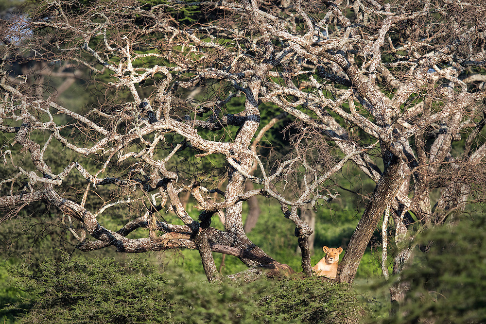 A lioness lounges in a tree in the morning sun light. Tanzania.
