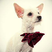 Chihuahua waiting to be adopted.