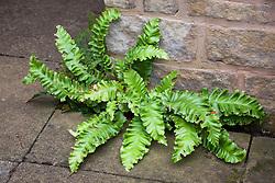 Asplenium scolopendrium Crispum Group. Hart's tongue fern