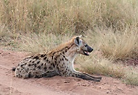 Spotted Hyena, Crocuta crocuta, rests at the side of a dirt road in Serengeti National Park, Tanzania