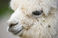 white alpaca face
