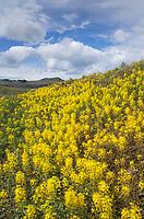 Golden Bee Plant (Cleome platycarpa) growing on hillside in eastern Oregon