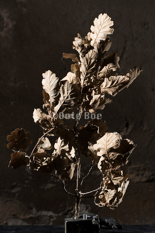 dried brown collored oak leaves still life
