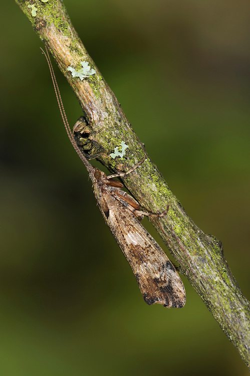 Mottled Sedge - Glyphotaelius pellucidus