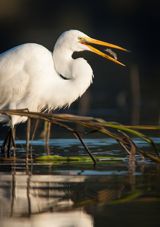 A common egret fishes along the edge of a marsh in the  May River.