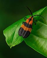 Calopteron discrepans - Net-winged Beetle.  Bourlay Nature Park, Leesburg Florida USA.