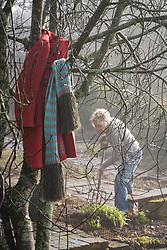 Dividing hemerocallis. Carol digging up hemerocallis ready for division as sunlight breaks through the fog at Glebe Cottage