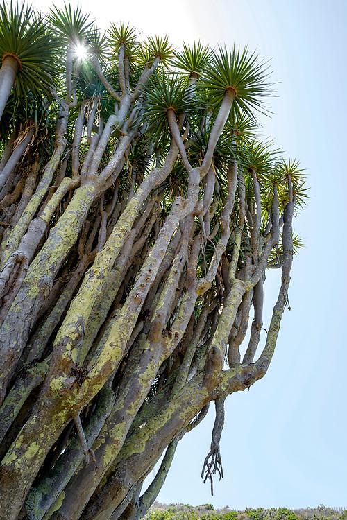 Bosque de Dragos El Palmar, Garafía, La Palma, Canarias, España, Europa