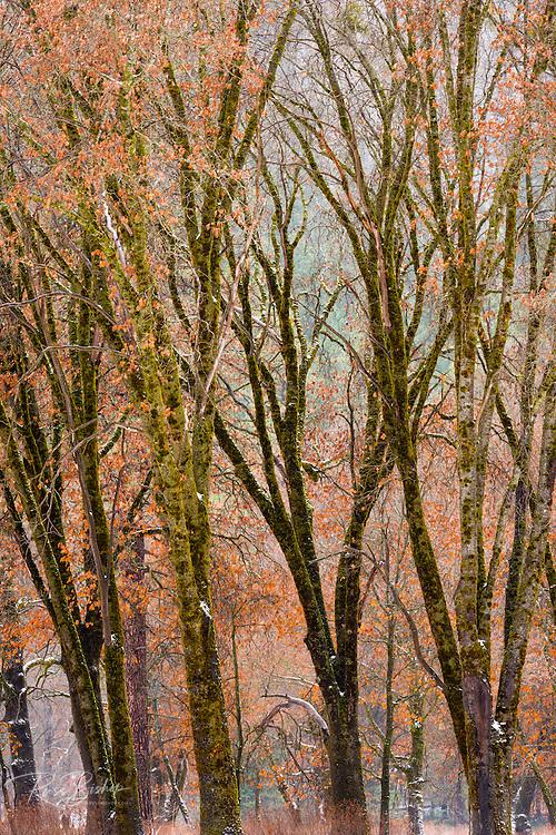 Black oaks in winter, Yosemite Valley, Yosemite National Park, California USA