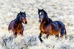 Bay Mustangs that roam the desert of Central Idaho.